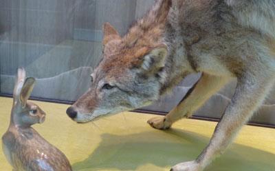 Wolf eating rabbit - photo#35